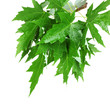 green maple leafs isolated on white