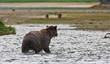 Küstenbraunbären  wildlife Katmai/Alaska