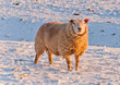 One sheep in a snowy Dutch field