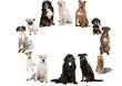 la rondes des races canines ; bouvier,labrado,amstaff