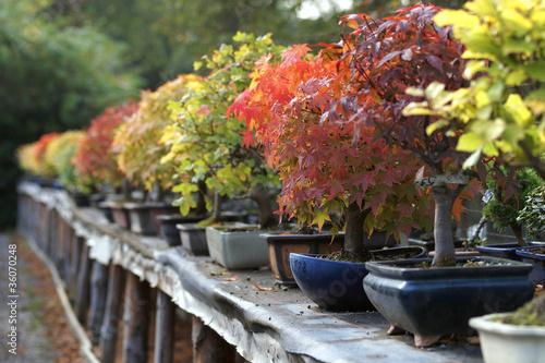 Plexiglas Bonsai Bonsaiaufzucht im Herbst