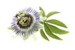 canvas print picture - Fleur de Passiflore - Plante médicinale