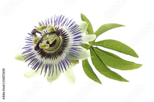 canvas print picture Fleur de Passiflore - Plante médicinale