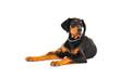 Dobermann puppy