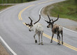 Reindeer Walking in Road