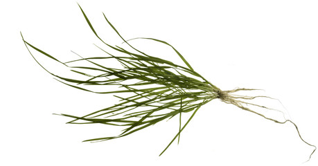 isolated grass plant