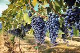 Fototapety tuscany wine grapes