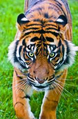 Sumatran Tiger hunting