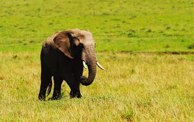 Big wild african elephant