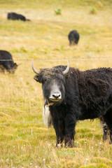 Grassland with black yark