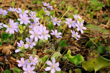 Hepatica Nobilis (Liverleaf) Flowers in Early Spring