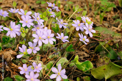 Hepatica Nobilis (Liverleaf) Flowers in Early Spring
