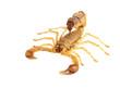 Leinwanddruck Bild - Scorpion