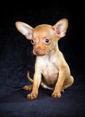 Puppy Russian toy terrier