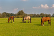 Three grazing horses in a Dutch meadow