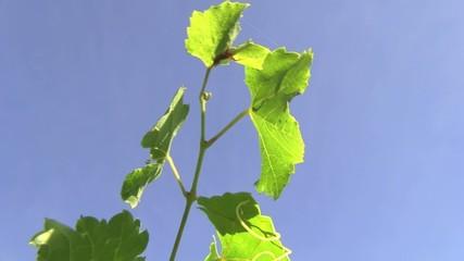 tralcio vite uva