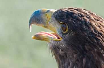 Portrait of a Common Buzzard with open beak