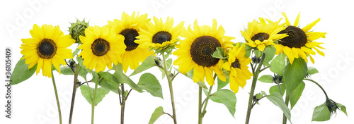 Isolated sunflowers border