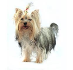 Yorkshire terrier  on white