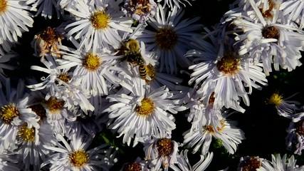 Hummel Blüten