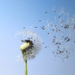 blown dandelion seeds