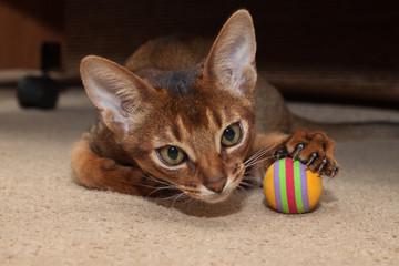 Абиссинский кот и мячик