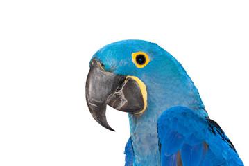 pappagallo blu