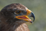 Portrait of a Common Buzzard with open beak poster