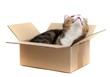 Katze im Pappkarton