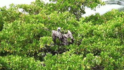 wild pelican
