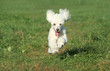 White poodle puppy run on grass