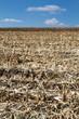 Maisfeld nach der Ernte
