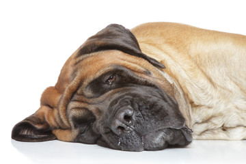 English mastiff sleep