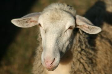 Primo piano di pecora