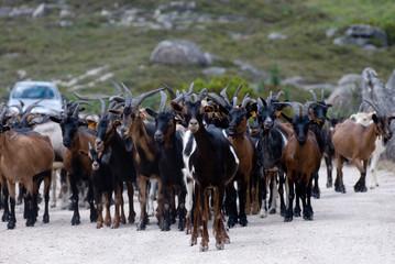 manada de cabras na estrada