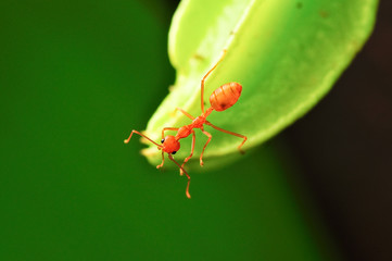 macro on carambola young fruit and ant