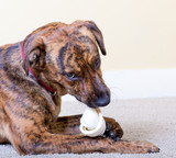 Brindled hound with a bone poster