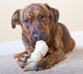 Brindled hound with a bone