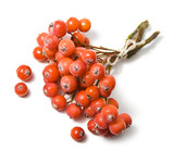 Rowanberry isolated on a white background