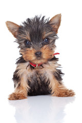 cute and curious yorkie toy