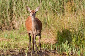Red deer hind browsing wetlands, Silverdale, Lancashire