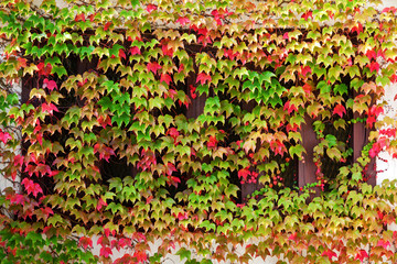Window autumn clambering plant