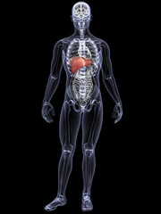 Skeleton X-Ray - Liver