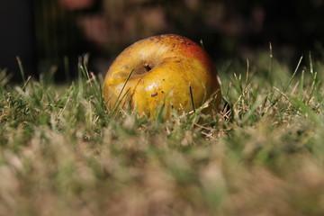 Pomme tombée dans l'herbe