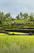 rice field landscape in bali indonesia