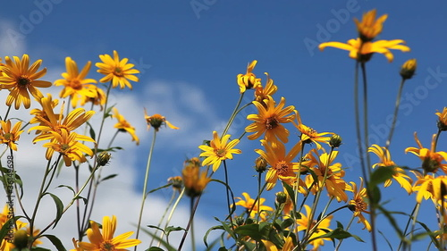 Yellow flowers on blue sky background