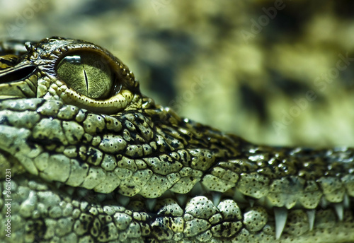 Fototapeten,alligator,krokodile,tier,kiefermäuler