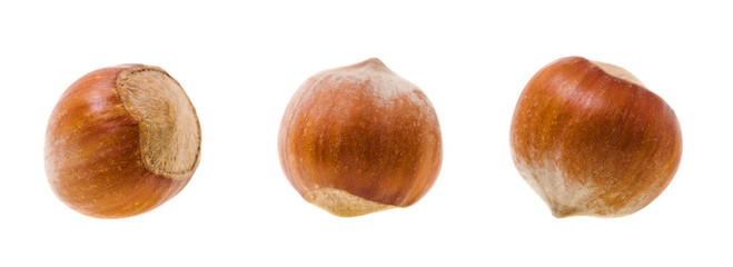 Filbert (wood nut)