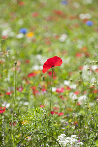 canvas print picture Klatsch-Mohn