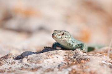 Formentera lizard